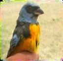 Anillado de aves 2