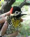 Anillado de aves 3